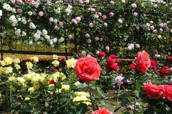 秋留台公園 薔薇