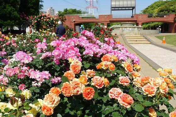 総合レクリエーション公園 バラ