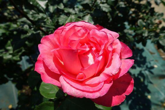 楽園 バラ