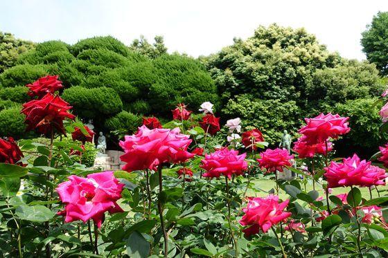 鳩山会館 バラ 開花状況