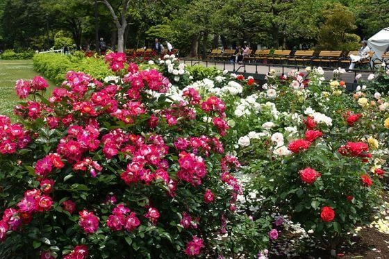 日比谷公園 バラ 開花状況