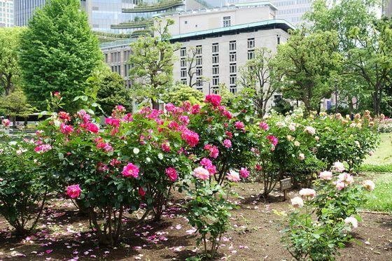 日比谷公園 薔薇