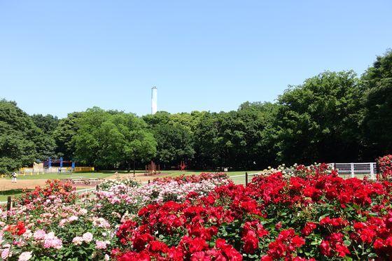 砧公園 バラ