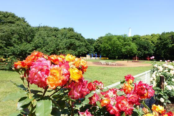 砧公園 バラ 開花状況