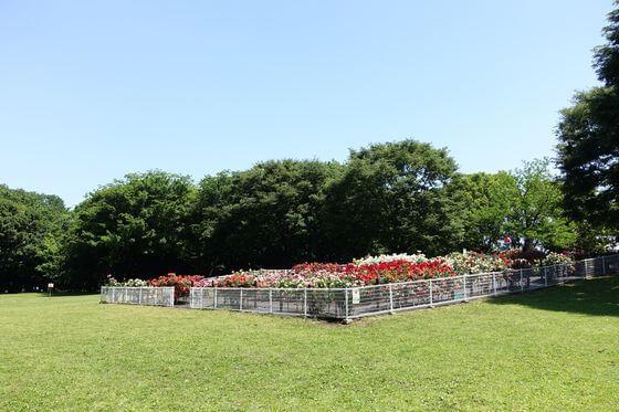 砧公園 薔薇