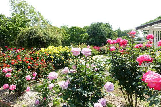 日比谷花壇大船フラワーセンター バラ
