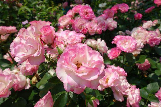ストロベリーアイス バラ