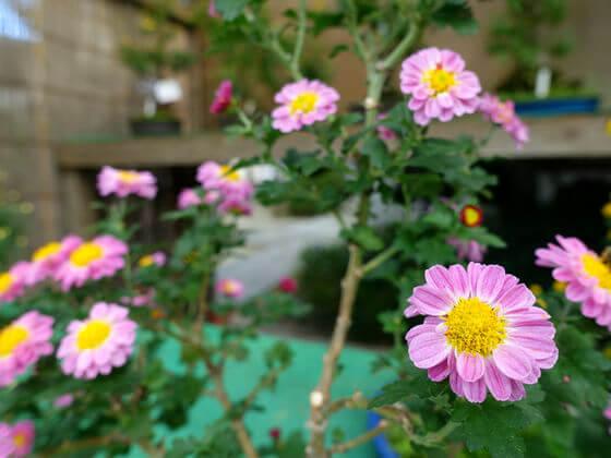 善養寺 影向菊花大会