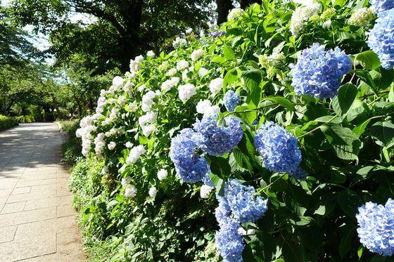 北区 紫陽花