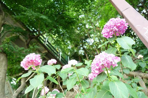 飛鳥山公園 紫陽花