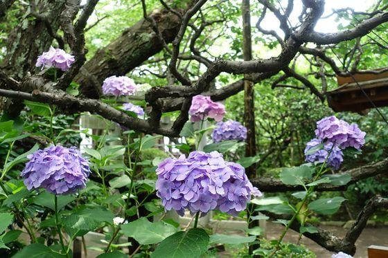 宝戒寺 鎌倉 紫陽花