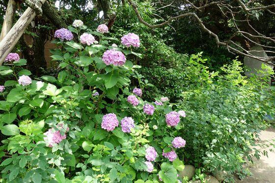 鎌倉 宝戒寺 紫陽花