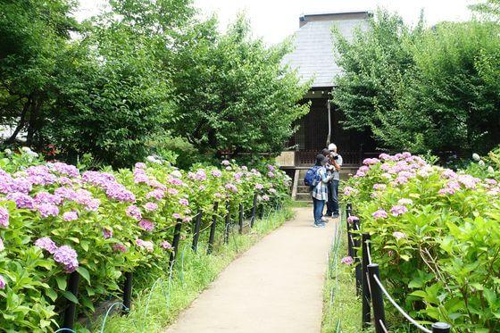松戸 紫陽花