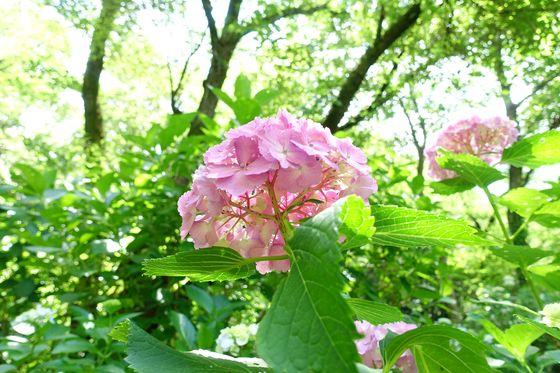 川崎 紫陽花