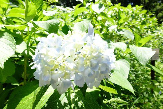 多摩 紫陽花