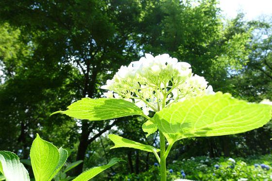 向ヶ丘遊園 紫陽花