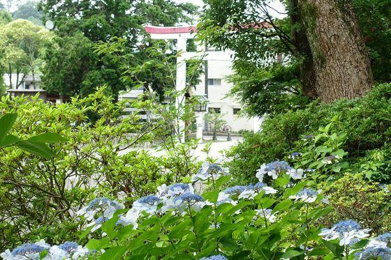 鎌倉宮 アジサイ