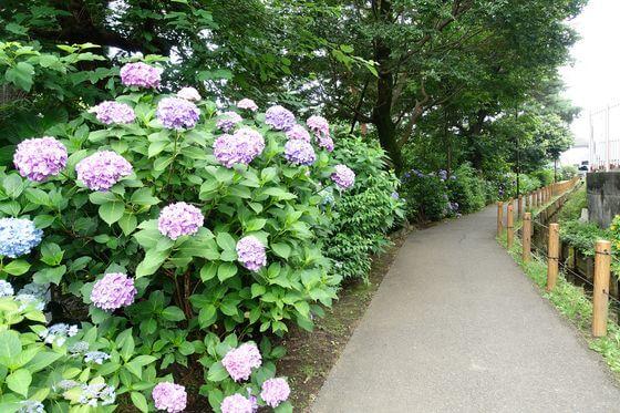 小平 紫陽花