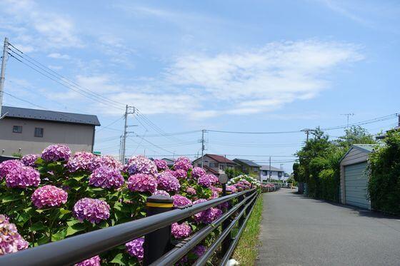 平塚市 河内川 あじさい