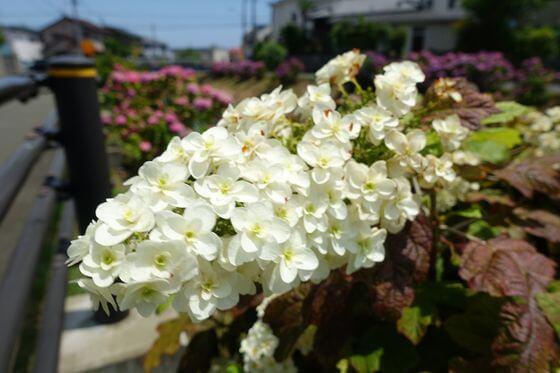 河内川 紫陽花