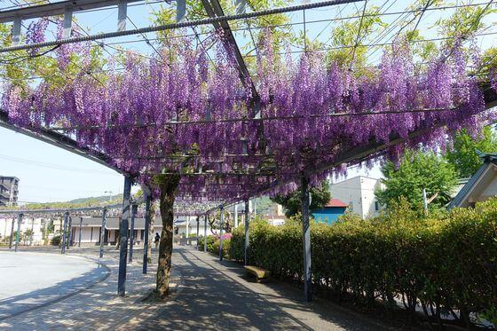 松川藤の広場