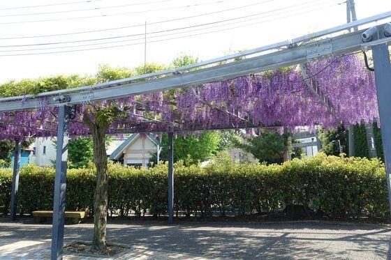 松川藤の広場 開花状況