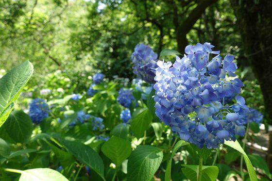 京王百草園 紫陽花