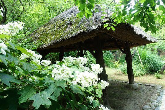 百草園 紫陽花