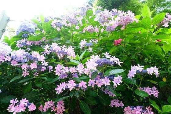 二階堂 紫陽花
