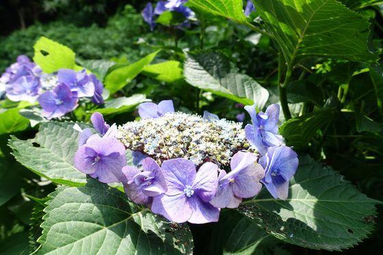 鎌倉 二階堂 紫陽花
