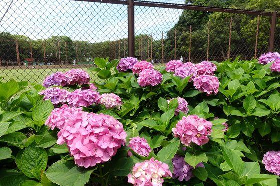 横浜 野島公園 紫陽花