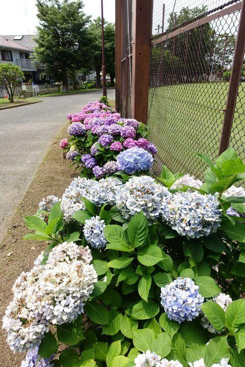 横浜 野島公園 あじさい