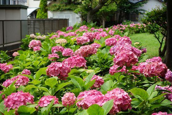 野島公園 紫陽花