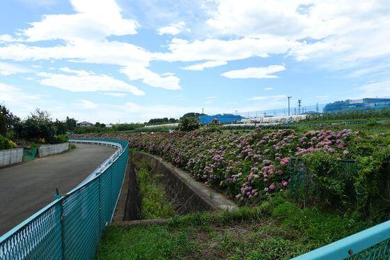 大熊川アジサイ緑道
