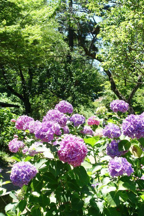 紫陽花 三渓園