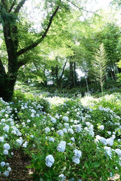 正覚寺 紫陽花
