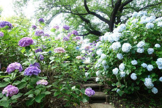 都筑区 紫陽花