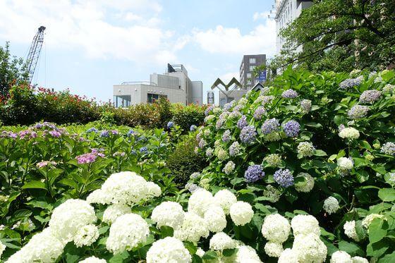 隅田公園 紫陽花