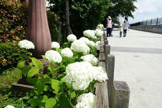 隅田公園 あじさいロード