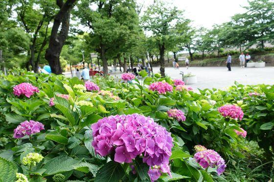 隅田公園 あじさい 開花状況