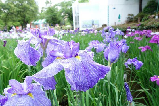 紫雲の峰 花菖蒲