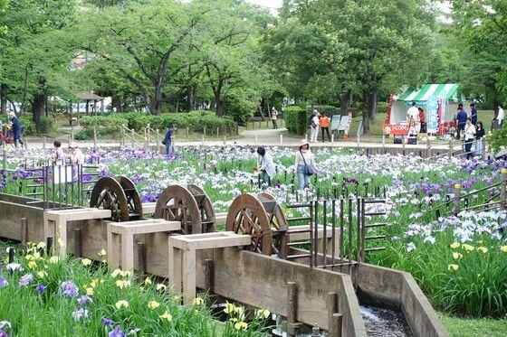 しょうぶ沼公園 花菖蒲