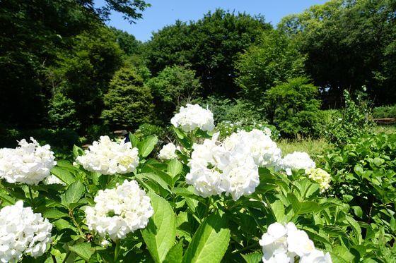 神代植物公園 あじさい 開花状況
