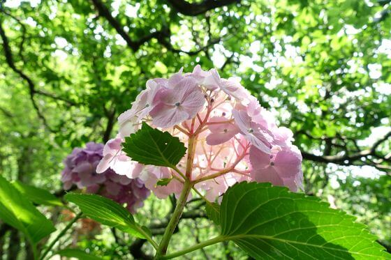 瑞泉寺 紫陽花