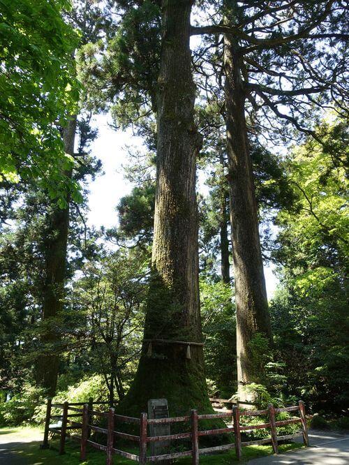 矢立の杉 箱根