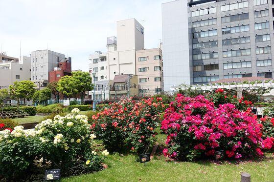 本郷 薔薇