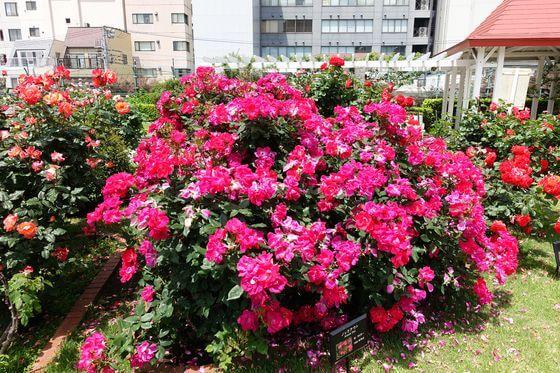文京区 バラ