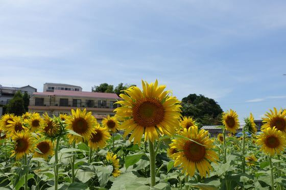上大岡 向日葵