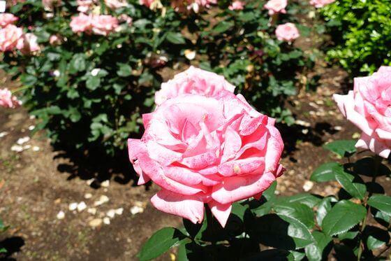 世田谷区 薔薇