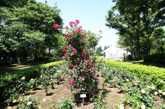 世田谷区 バラ